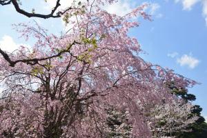 乾通り一般公開・桜