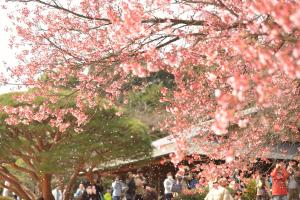 新宿御苑・寒桜ちる