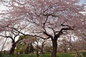 新宿御苑・枝垂桜