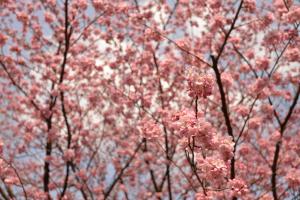 新宿御苑・寒桜