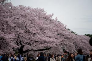 新宿御苑・桜