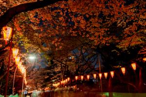 上野公園・夜桜