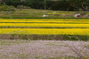 大内宿・菜の花畑