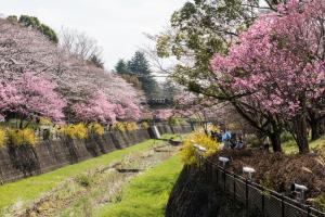 昭和記念公園・残掘川・桜
