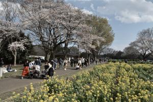 昭和記念公園・菜の花