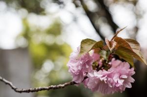 東京国立博物館・桜