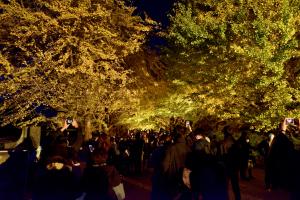 昭和記念公園ライトアップ・イチョウ並木