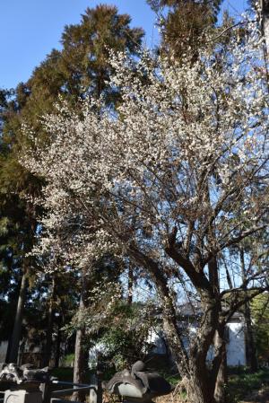 豪徳寺・井伊家墓所の梅